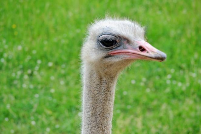 ostrich-closeup