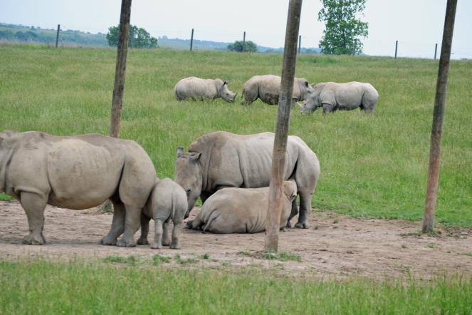 rhino-baby