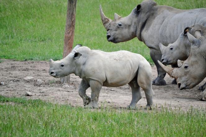 rhino-baby2