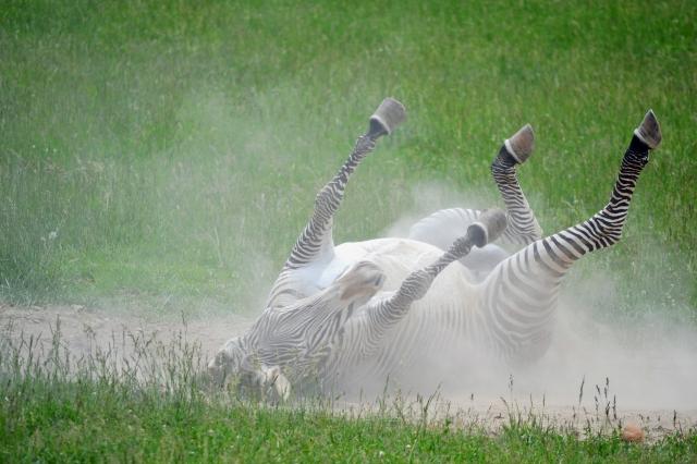 zebra-roll