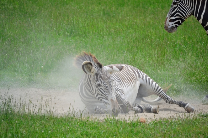 zebra-roll2
